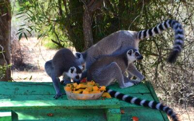 Accueil d'un nouveau lémurien au Centre de Réhabilitation et de Conservation de la Faune et de la Flore endémiques sur Mangily